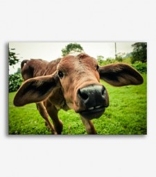 Vaca  _G265